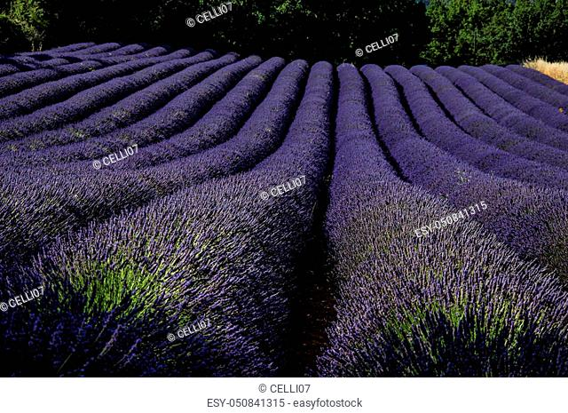 View of field of lavender flowers under sunny sky, near the village of Roussillon. Located in the Vaucluse department, Provence region, in southeastern France
