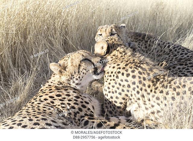 South Africa, Private reserve, Cheetah (Acinonyx jubatus), resting