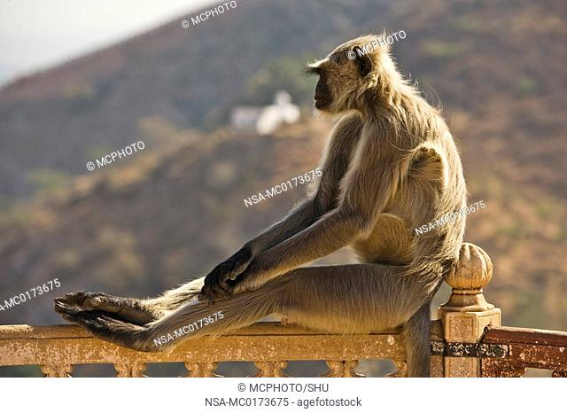 Hanuman-Langur, Hulmane or Indian Langur Semnopithecus entellus, North India, India, Asia