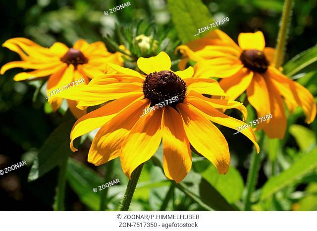 Rudbeckia hirta, Sonnenhut, Black-eyed susan