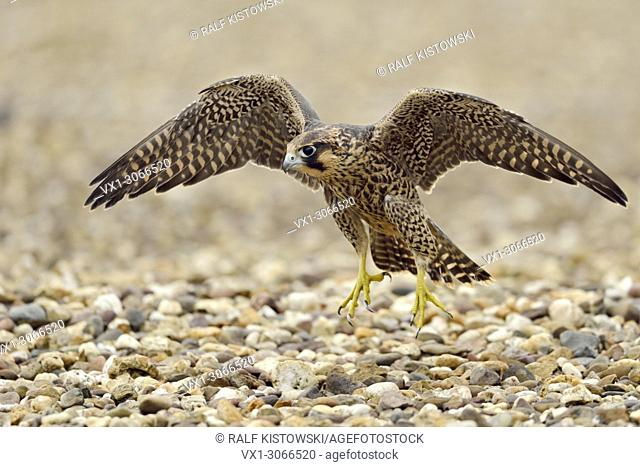 Peregrine Falcon ( Falco peregrinus ), young adolescent, training its flight skills on the gravelled roof of an industrial building, wildlife, Europe