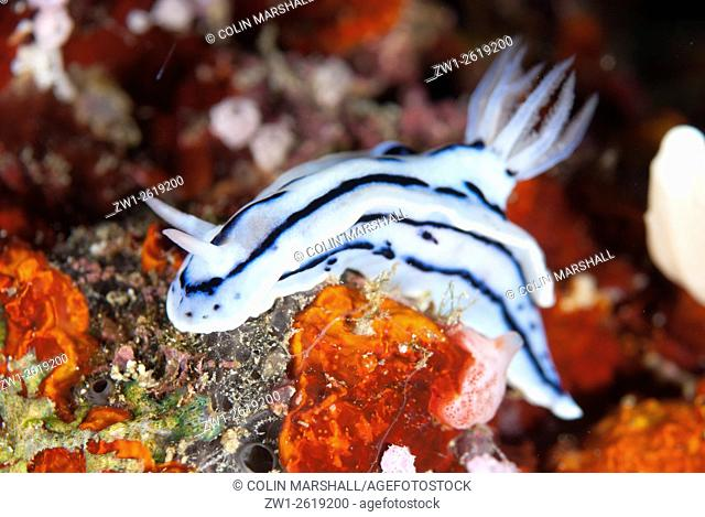 Loch's Chromodoris Nudibranch (Chromodoris lochi), Whale Rock dive site, Fiabacet Island, Raja Ampat (4 Kings) area, West Papua, Indonesia