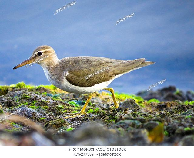 Spotted sandpiper non-breeding