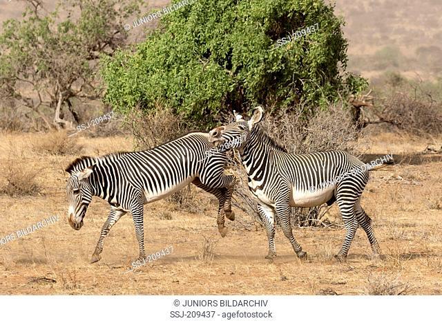 Grevys Zebra (Equus grevyi). Mare kicking against dominant stallion. Samburu National Reserve, Kenya