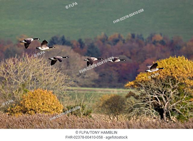 Canada Goose Branta canadensis introduced species, six adults, in flight, Mersehead RSPB Reserve, Dumfries and Galloway, Scotland, november