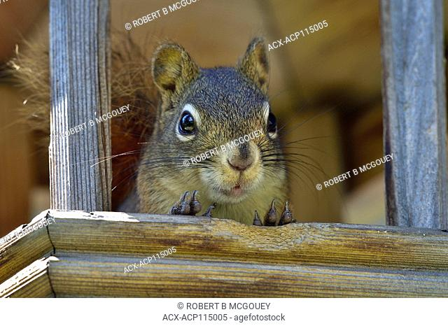 A close up portrait view of a red squirrel ( Tamiasciurus hudsonicus) ; in a bird feeder at Hinton, Alberta, Canada
