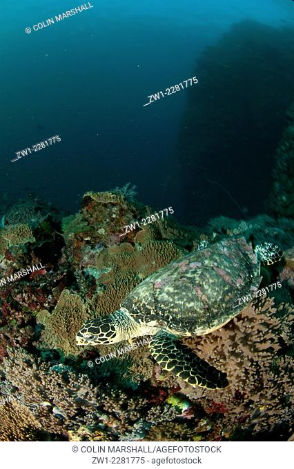 Loggerhead Turtle (Caretta caretta) swimming over coral, Pillarstein dive site, Padar Island, Komodo National Park, Indonesia