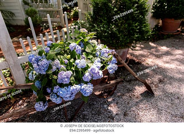A flowering hydrangea in a wheel barrow in front of a white picket fence in a garden. Georgia USA