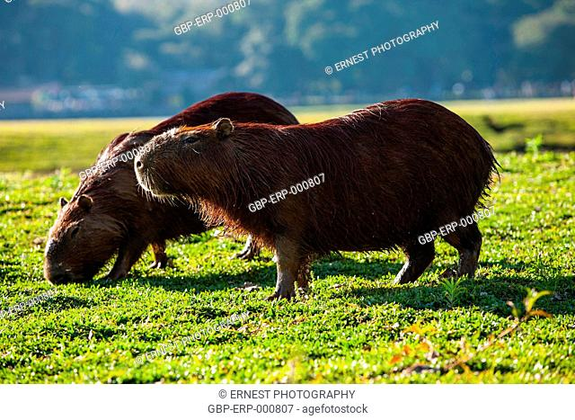 Animal, capybara, Hydrochoerus hydrochaeris, Curitiba, Parana, Brazil