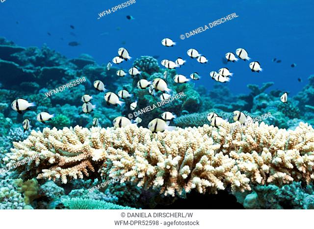 Indian Dascyllus Damselfish in Table Coral, Dascyllus carneus, Thaa Atoll, Maldives