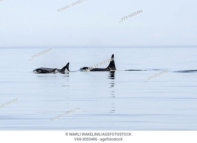 Several generations of Salish Sea Southern Resident orcas, Orca orcinus, J-Pod, T'ilem I'nges (J-49), Hy'Shqa (J 37), Granny (J-2), Onyx (L-87)