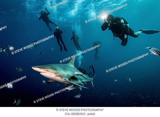 Scuba divers' encounter with large Oceanic Blacktip Shark (Carcharhinus Limbatus), Aliwal Shoal, South Africa