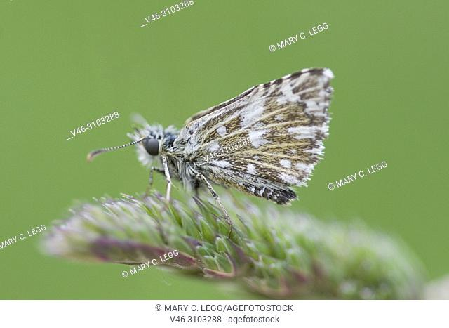 Olive Skipper, Pyrgus serratulae, small skipper found in flowery meadows on limestone , calcerous or silicate soils. Host plants are Alchemilla and Pontilla