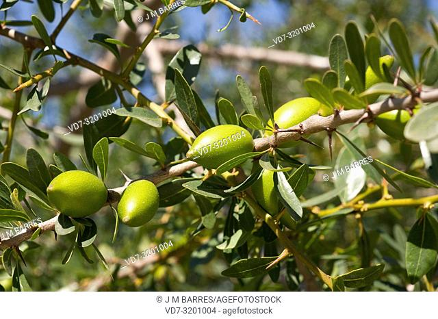 Argan (Argania spinosa or Argania sideroxylon) is a thorny tree endemic to southwestern Morocco. Its seeds contain an edible oil very appreciated in cosmetics