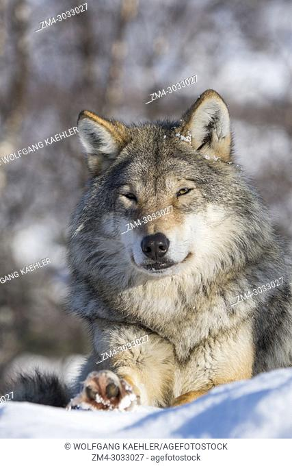 Gray wolf (Canis lupus) resting in the snow at a wildlife park in northern Norway