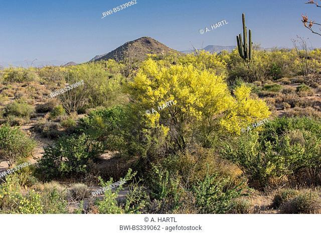 Foothill Palo Verde, Yellow Paloverde (Parkinsonia microphylla), blooming in Sonora deser, USA, Arizona, Phoenix