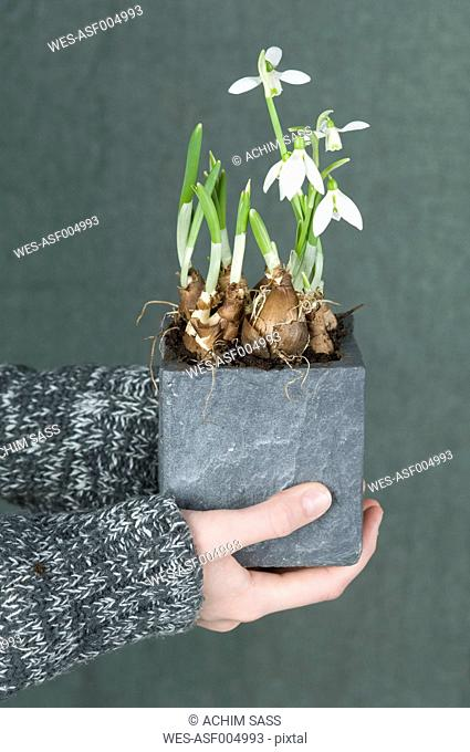 Woman holding snowdrops plant