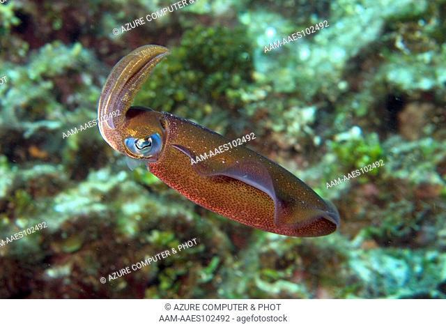 Reef Squid (Sepioteuthis sepioidea) Roatan, Honduras