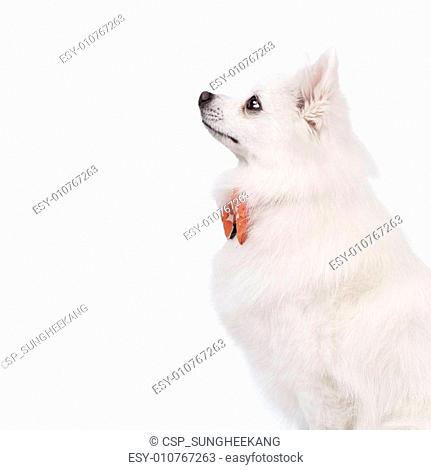 The white tears of the young Spitz