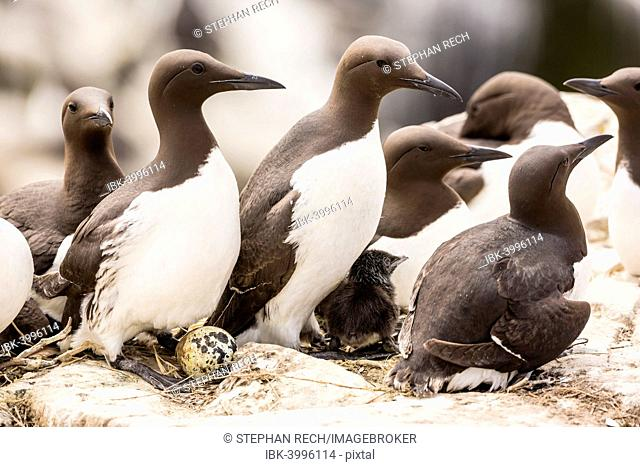 Common Guillemots (Uria aalge), Farne Islands, Northumberland, England, United Kingdom