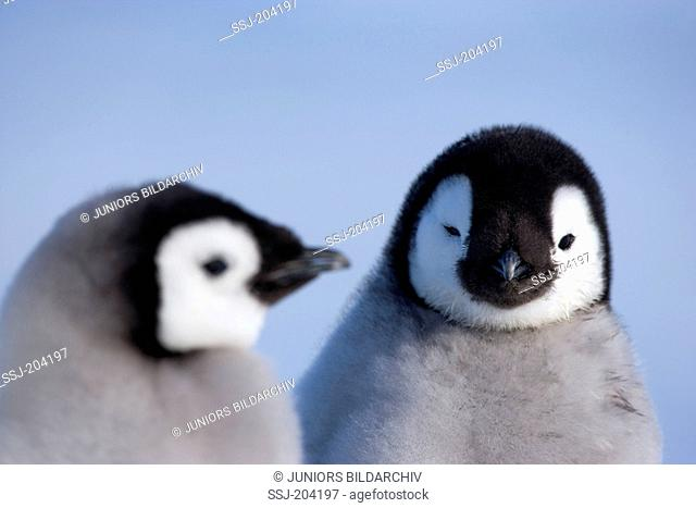 Emperor Penguin (Aptenodytes forsteri). Pair of chicks, portrait. Snow Hill Island, Antarctica