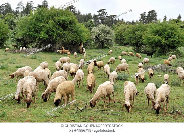flock of sheep in a clearing, Atlas cedar forest, near Azrou, Middle Atlas, Morocco, North Africa