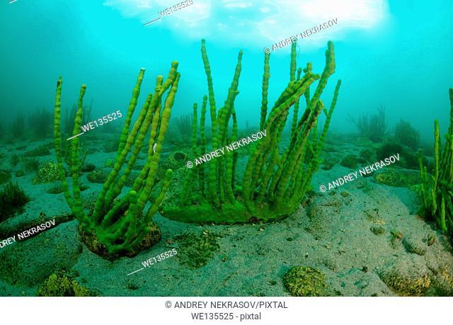 Sponges (Lubomirskiidae). lake Baikal, Siberia, Russia, island Olkhon