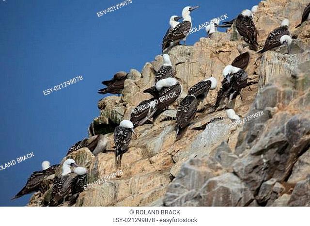 Blaufusstölpel auf Islas Ballestas Peru