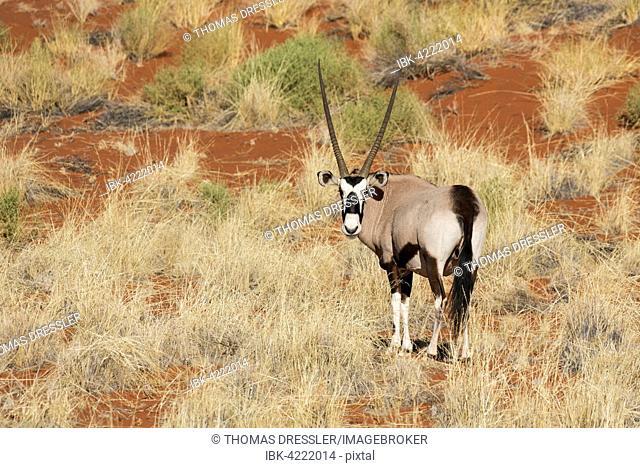 Gemsbok or gemsbuck (Oryx gazella) on grassy dune, edge of Namib Desert, NamibRand Nature Reserve, Namibia