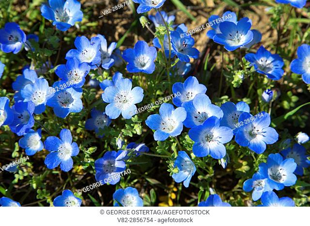 Baby blue eyes (Nemophila menziesii), Carrizo Plain National Monument, California
