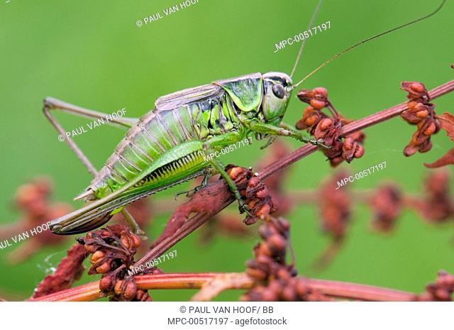 Roesel's Bush-cricket (Metrioptera roeseli), Arnhem, Netherlands