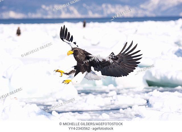 Steller's Sea Eagle, Haliaeetus pelagicus, landing, Rausu, offshore Hokkaido, Sea of Okhotsk, Japan