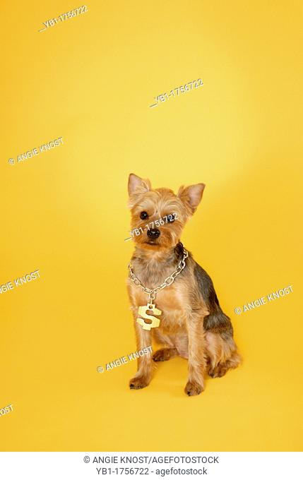 A hip-hop yorkie dog wearing a dollar sign necklace, on yellow background, ample room to add copy or text