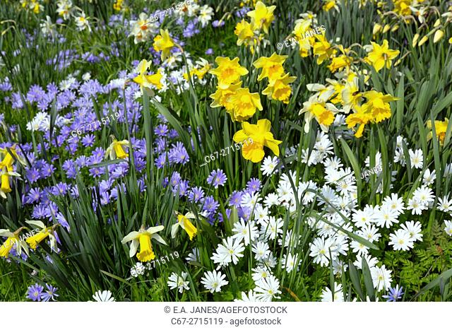 Anemone blanda white and blue with Daffodils and flowering Magnolia in Spring