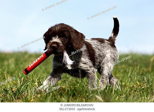 Korthals Griffon. Puppy running on a meadow, fetching a fake stick of dynamite. Germany