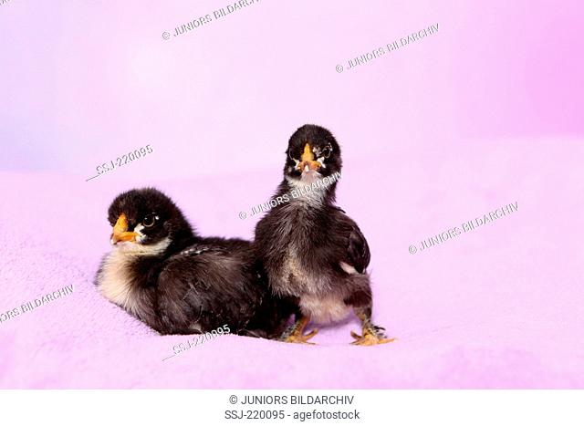 Domestic chicken. Two chickens on a pink blanket. Studio picture against a pink background