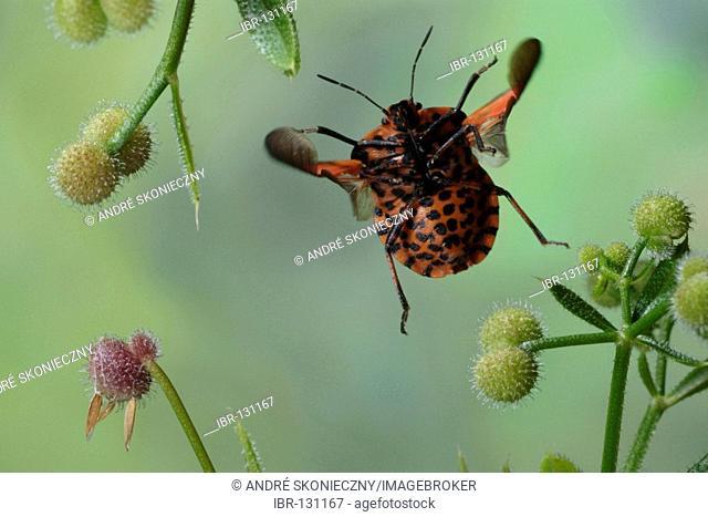 Shield bug (Graphosoma italicum)