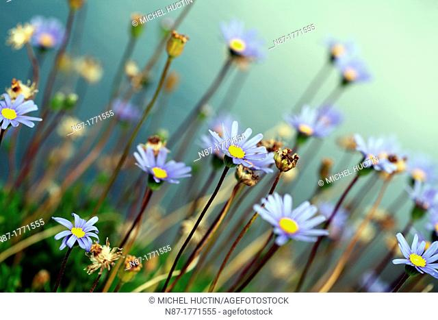 Asters in summer