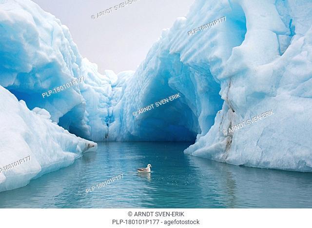 Northern fulmar / Arctic fulmar (Fulmarus glacialis) swimming in front of iceberg in Arctic Ocean, Svalbard, Norway