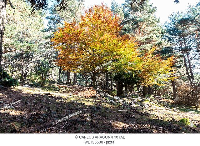 Red beech in the forestfrom the Black Lagoon in Soria, Spain