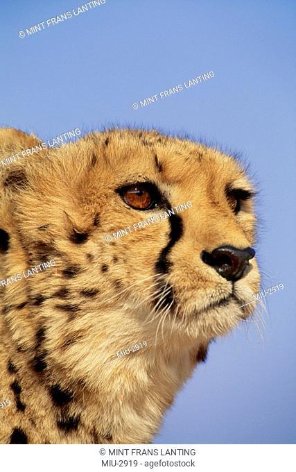 Kenya, Cheetah close up