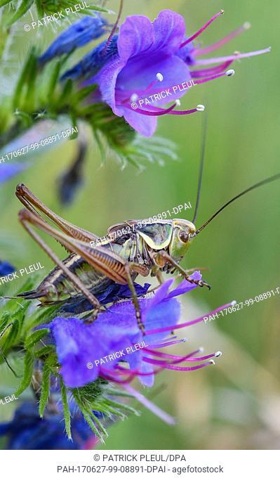 A bush cricket sits on the blossom of a common viper's burgloss on a meadow near Reitwein, Germany, 26 June 2017. Photo: Patrick Pleul/dpa-Zentralbild/dpa