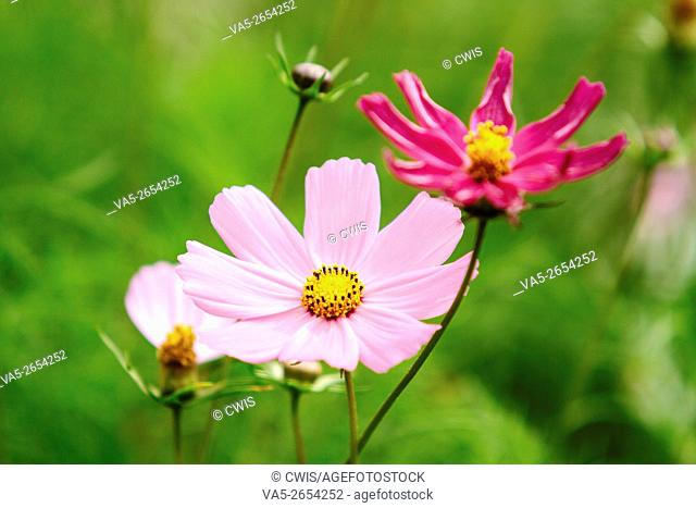 Close up of cute cosmos in the fields