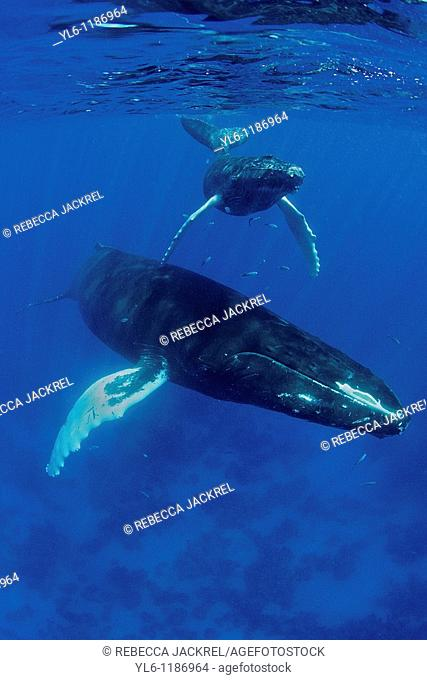 South America, Caribbean, Dominican Republic, Silver Bank  Humpback Whale with Calf