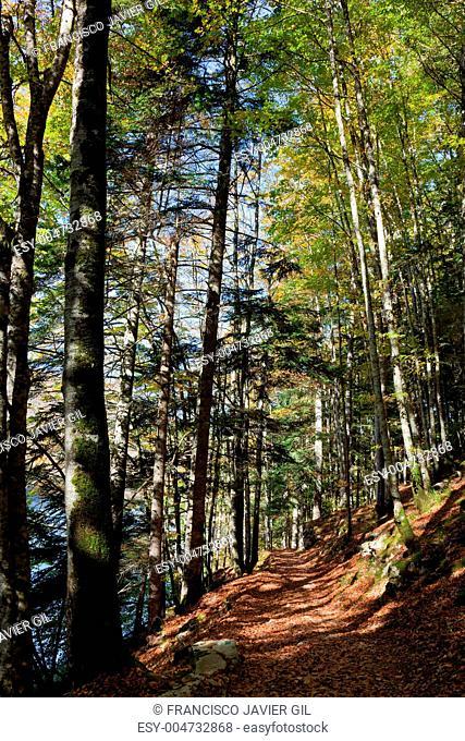 Forest in the selva de Irati, Navarra, Spain