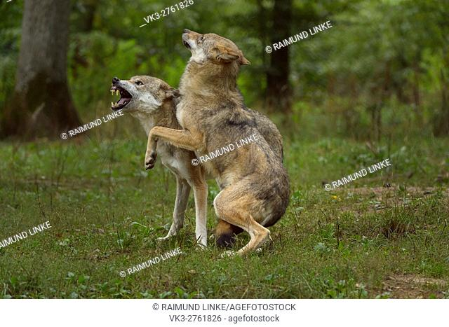 European Gray Wolf, Canis lupus lupus, two Wolves Fighting, Germany