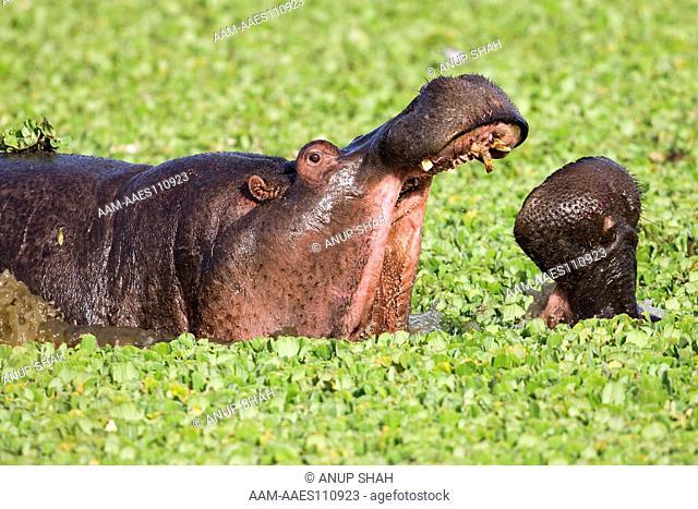 Hippopotamus males fighting in a lily covered pool (Hippopotamus amphibius). Maasai Mara National Reserve, Kenya. Feb 2008