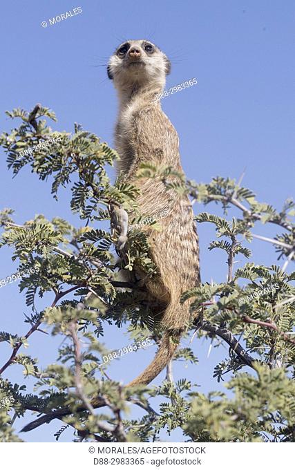 Africa, Southern Africa, South African Republic, Kalahari Desert, Meerkat or suricate (Suricata suricatta), adult, sentinel perched on a tree