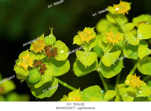 Leafy spurge (Euphorbia esula), inflorescences, Germany