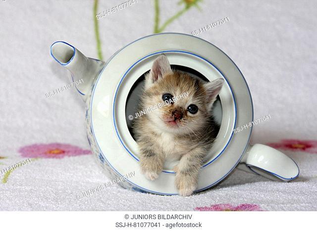 Domestic cat. Kitten in a coffee pot. Germany